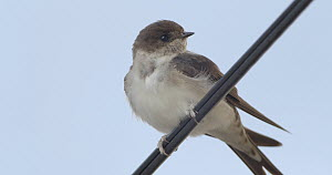 Juvenile Common house martin (Delichon urbicum) perched on a cable, Cuenca, Spain, August.  -  David Perpinan