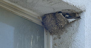 Pair of Common house martins (Delichon urbicum) interacting inside a nest under construction, Barcelona, Spain, April.  -  David Perpinan