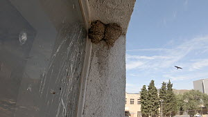 Two Common house martin (Delichon urbicum) nests in the corner of a window, while birds fly in the background Barcelona, Spain, May.  -  David Perpinan