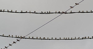 Common house martins (Delichon urbicum) perched on wire during migration, Cuenca, Spain, August.  -  David Perpinan