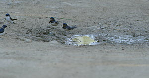 Common house martin (Delichon urbicum) collecting mud for nests, together with Barn swallows (Hirundo rustica), Barcelona, Spain, May.  -  David Perpinan