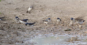 Group of Common house martin (Delichon urbicum) collecting mud for their nests, Barcelona, Spain, May.  -  David Perpinan