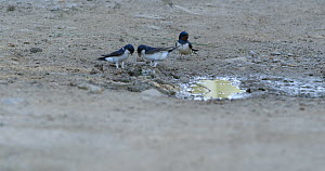Group of Common house martin (Delichon urbicum) and Barn swallows (Hirundo rustica) collecting mud for their nests, Barcelona, Spain, May.  -  David Perpinan