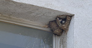 Common house martin (Delichon urbicum) repairing nest damaged by bad weater, Barcelona, Spain, June.  -  David Perpinan