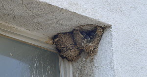 Common house martin (Delichon urbicum) repairing nest damaged by bad weater, while another bird feeds chicks in neighbouring nest, Barcelona, Spain, June.  -  David Perpinan