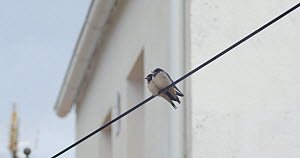 Two Barn swallow (Hirundo rustica) fledglings perched on a cable, parent flies in and gives one chick food, Cuenca, Spain, August.  -  David Perpinan
