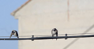 Barn swallows (Hirundo rustica) and a Common house martin (Delichon urbicum) perched on a cable preening, Cuenca, Spain, August.  -  David Perpinan