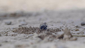 Female Solitary bee (Anthophora romandii) landing and digging burrow before another bee comes out of burrow, they fight before both flying away, Barcelona, Spain, April.  -  David Perpinan