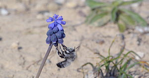 Male Solitary bee (Anthophora romandii) taking nectar from Grape hyacinth (Muscari neglectum) flowers, Barcelona, Spain, March.  -  David Perpinan