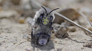 Pair of Solitary bees (Anthophora romandii) mating, Barcelona, Spain, March.  -  David Perpinan