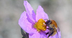 Bumblebee (Bombus sp.) nectaring on White -leaved rock rose (Cistus albidus) flower, Barcelona, Spain, April.  -  David Perpinan