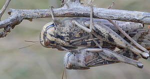 Pair of Migratory locust (Locusta migratoria) mating and then falling off branch, Barcelona, Spain, March.  -  David Perpinan