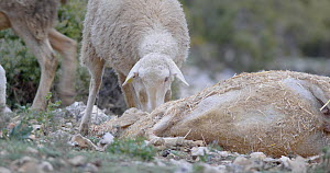Domestic sheep investigating sheep carcass before walking away, Cuenca, Spain, April.  -  David Perpinan
