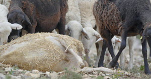 Domestic sheep investigating sheep carcass, Cuenca, Spain, April.  -  David Perpinan