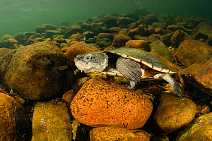 Saw-shelled turtle (Myuchelys latisternum), adult female resting, Townsville region, Queensland, Australia. September. Cropped. NOTE: some backscatter caused by photographer has been cloned out.  -  Etienne Littlefair