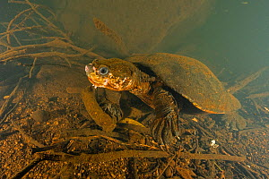 Irwin's turtle (Elseya irwini), large adult female found actively moving around in a deep pool of the North Johnstone River, downstream of Malanda, Far North Queensland, Australia. August. Cropped...  -  Etienne Littlefair