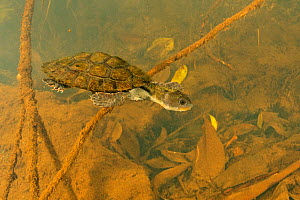 Irwin's turtle (Elseya irwini), juvenile swimming through submerged vegetation downstream of a riffle zone, North Johnstone River, downstream of Malanda, Far North Queensland, Australia. August. C...  -  Etienne Littlefair