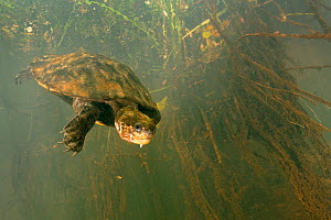 Irwin's turtle (Elseya irwini), large adult female returning to deeper water after surfacing for a breath, North Johnstone River, downstream of Malanda, Far North Queensland, Australia. August.  -  Etienne Littlefair