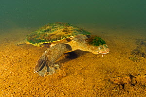 Mary river turtle (Elusor macrurus), adult male walking along riverbed, with algae attached to his head, Mary River, Queensland, Australia. August. Cropped.  -  Etienne Littlefair