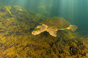 Mary river turtle (Elusor macrurus), adult male swimming after becoming aware of the photographer, Mary River, Queensland, Australia. August.  -  Etienne Littlefair