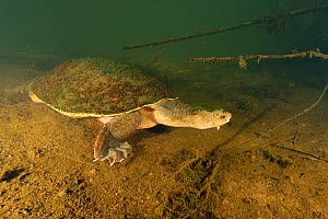 Mary river turtle (Elusor macrurus), full-sized adult male with alge-covered carapace heading for shelter under a fallen log, Mary River, Queensland, Australia. August.  -  Etienne Littlefair