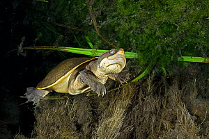 Worrell's turtle (Emydura subglobosa worrelli), adult swimming through the darkness underneath a large overhanging creek bank, Katherine Region, Northern Territory, Australia. December.  -  Etienne Littlefair