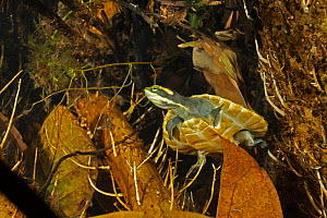 Northern yellow-faced turtle (Emydura tanybaraga), young juvenile resting in a sheltered spot in a shallow stretch of Berry Creek, Northern Territory, Australia. Cropped.  -  Etienne Littlefair