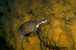 Yellow-bellied snapping turtle (Elseya flaviventralis) swimming along rock wall, Arnhem Escarpment Creek, Northern Territory, Australia. June.  -  Etienne Littlefair