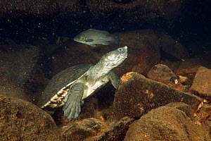 Northern snapping turtle (Elseya dentata), resting in an underwater cave shared with other northern snapping turtles and Sooty grunters Katherine region, Northern Territory, Australia. July.  -  Etienne Littlefair