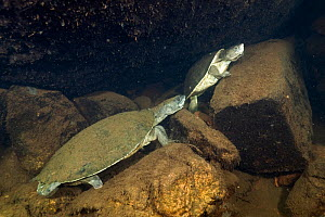 Northern snapping turtles (Elseya dentata), resting in an underwater cave shared with other northern snapping turtles, Katherine region, Northern Territory, Australia. July.  -  Etienne Littlefair