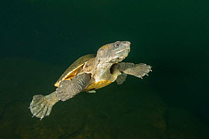 Northern snapping turtle (Elseya dentata) swimming, possibly surfacing for air, Daly region, Northern Territory, Australia. June..  -  Etienne Littlefair