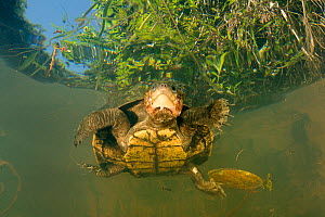 Looking up at Irwin's turtle (Elseya irwini), large adult female found on the surface, possibly breathing or warming up, North Johnstone River near Malanda, Australia. August.  -  Etienne Littlefair