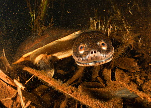 Northern long-neck turtle (Chelodina rugosa) in a small Adelaide River tributary at night, Northern Territory, Australia. December.  -  Etienne Littlefair