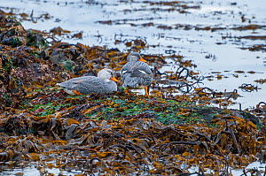 Magellanic flightless steamer duck (Tachyeres pteneres), territorial pair on foreshore, Beagle Channel, Patagonia, Argentina  -  Tui De Roy