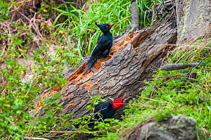 Magellanic woodpecker (Campephilus magellanicus), pair foraging on wind-felled beech tree, Beagle Channel, Patagonia, Argentina  -  Tui De Roy