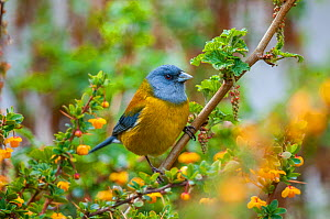 Patagonian ssierra-finch (Phrygilus patagonicus), feeding on berberry flowers along beech forest margin, Beagle Channel, Patagonia, Argentina  -  Tui De Roy
