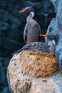 Red legged cormorant (Phalacrocorax gaimardi) nesting on cliff ledge, Tilgo Island, La Serena, Humboldt Archipelago, Chile.  -  Tui De Roy