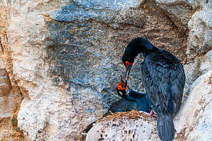 Rock cormorant (Phalacrocorax magellanicus) nesting on cliff face, Beagle Channel, Patagonia, Argentina  -  Tui De Roy