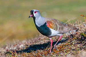 Southern lapwing (Vanellus chilensis) Patagonian grassland, Beagle Channel, Patagonia, Argentina  -  Tui De Roy