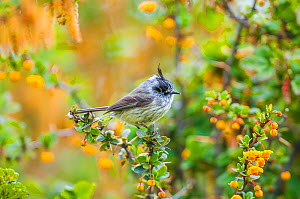 Tufted tit-tyrant (Anairetes parulus) in Patagonian scrubland habitat, Beagle Channel, Patagonia, Argentina  -  Tui De Roy