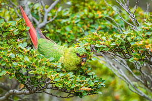 Austral parakeet (Enicognathus ferrugineus), feeding in southern beech (Nothofagus) forest canopy,, Beagle Channel, Patagonia, Argentina  -  Tui De Roy