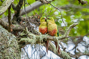 Austral parakeet (Enicognathus ferrugineus), courting pair in southern beech (Nothofagus) forest, Beagle Channel, Patagonia, Argentina  -  Tui De Roy