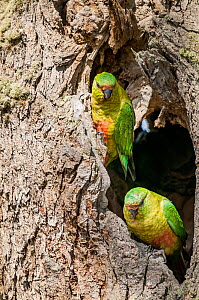 Austral parakeet (Enicognathus ferrugineus), investigating potential nest cavity in southern beech (Nothofagus) forest, Beagle Channel, Patagonia, Argentina  -  Tui De Roy