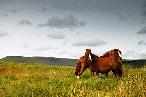Wild Welsh mountain pony, two standing head to tail in upland grassland. Brecon Beacons National Park, Wales, UK. July 2019.  -  Graham Eaton