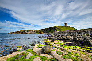 Dunstanburgh Castle on headland of the Whin Sill, eroded dolerite boulders in foreground. Northumberland, England, UK. July 2019.  -  Graham Eaton