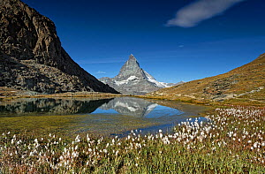Cottongrass (Eriophorum sp) flowering beside Riffelsee, Matterhorn reflected in lake. Zermatt, Valais, Switzerland. September 2019.  -  Graham Eaton