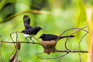 Willie wagtail (Rhipidura leucophrys) pair at nest, one incubating. Papua New Guinea.  -  Konrad Wothe