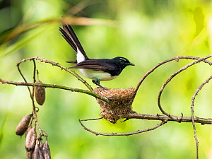 Willie wagtail (Rhipidura leucophrys) at nest. Papua New Guinea.  -  Konrad Wothe