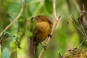 MacGregor's bowerbird (Amblyornis macgregoriae) male perched on branch, material to decorate bower in beak. Papua New Guinea.  -  Konrad Wothe