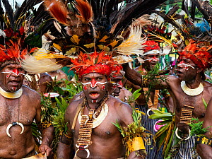 Papuan men in traditional dress with painted faces and headdresses, participating in Sing-sing gathering where traditional cultures including dance and music are shared. Morobe Show, Lae, Papua New Gu...  -  Konrad Wothe